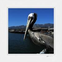 Pelican Santa Barbara ©Gary Hayes 2005